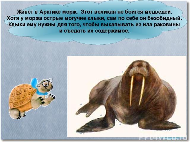 Живёт в Арктике морж. Этот великан не боится медведей. Хотя у моржа острые могучие клыки, сам по себе он безобидный. Клыки ему нужны для того, чтобы выкапывать из ила раковины и съедать их содержимое.