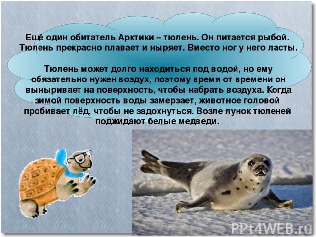 Ещё один обитатель Арктики – тюлень. Он питается рыбой. Тюлень прекрасно плавает и ныряет. Вместо ног у него ласты. Тюлень может долго находиться под водой, но ему обязательно нужен воздух, поэтому время от времени он выныривает на поверхность, чтоб…