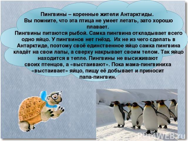 Пингвины – коренные жители Антарктиды. Вы помните, что эта птица не умеет летать, зато хорошо плавает. Пингвины питаются рыбой. Самка пингвина откладывает всего одно яйцо. У пингвинов нет гнёзд. Их не из чего сделать в Антарктиде, поэтому своё единс…