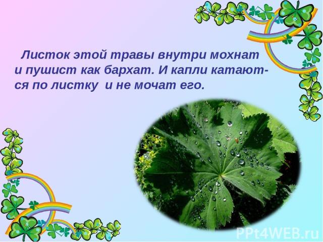 Листок этой травы внутри мохнат и пушист как бархат. И капли катают- ся по листку и не мочат его.