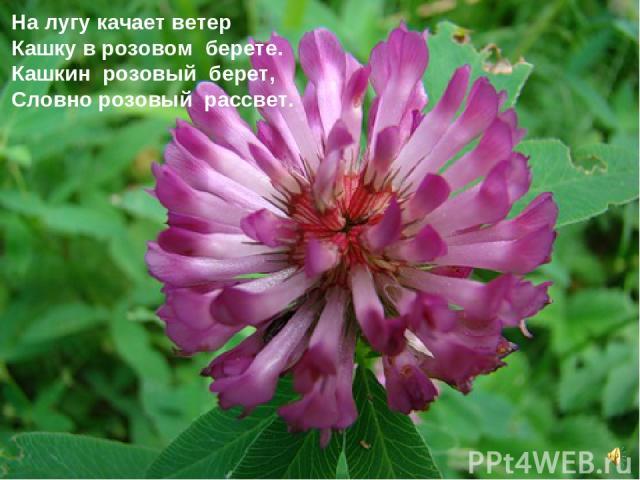 На лугу качает ветер Кашку в розовом берете. Кашкин розовый берет, Словно розовый рассвет.
