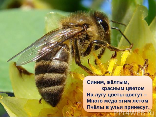 Синим, жёлтым, красным цветом На лугу цветы цветут – Много мёда этим летом Пчёлы в ульи принесут.
