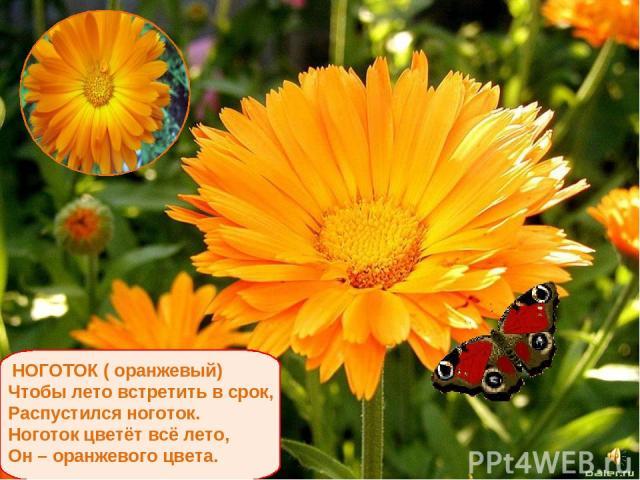 НОГОТОК ( оранжевый) Чтобы лето встретить в срок, Распустился ноготок. Ноготок цветёт всё лето, Он – оранжевого цвета.