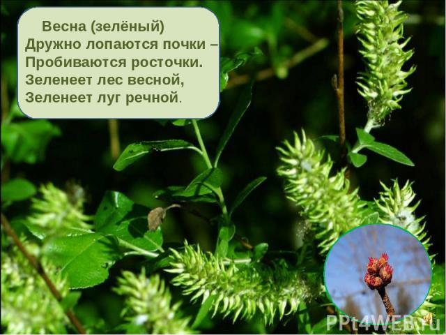Весна (зелёный) Дружно лопаются почки – Пробиваются росточки. Зеленеет лес весной, Зеленеет луг речной.