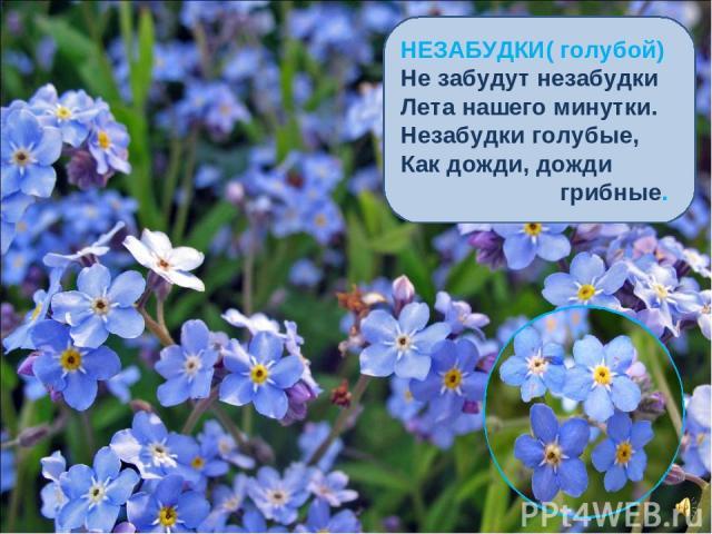 НЕЗАБУДКИ( голубой) Не забудут незабудки Лета нашего минутки. Незабудки голубые, Как дожди, дожди грибные.