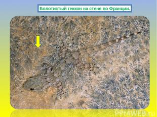 Болотистый геккон на стене во Франции.