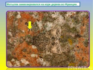 Мотылек замаскировался на коре дерева во Франции.