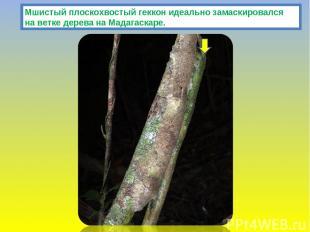 Мшистый плоскохвостый геккон идеально замаскировался на ветке дерева на Мадагаск