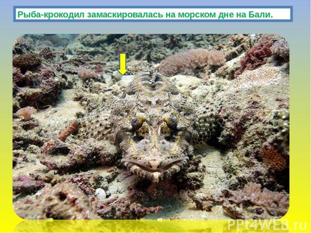 Рыба-крокодил замаскировалась на морском дне на Бали.