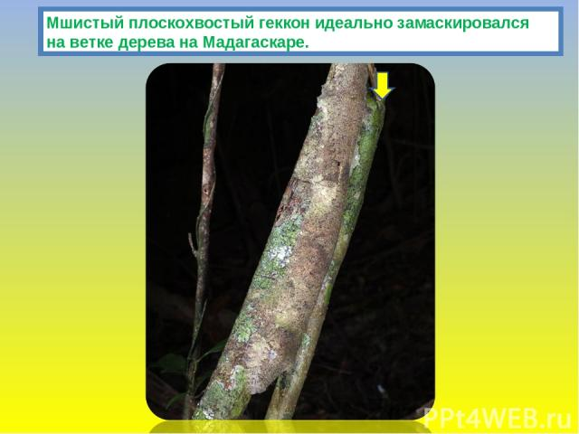 Мшистый плоскохвостый геккон идеально замаскировался на ветке дерева на Мадагаскаре.