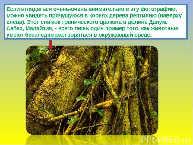 Если вглядеться очень-очень внимательно в эту фотографию, можно увидеть прячущуюся в корнях дерева рептилию (наверху слева). Этот снимок тропического дракона в долине Данум, Сабах, Малайзия, - всего лишь один пример того, как животные умеют бесследн…