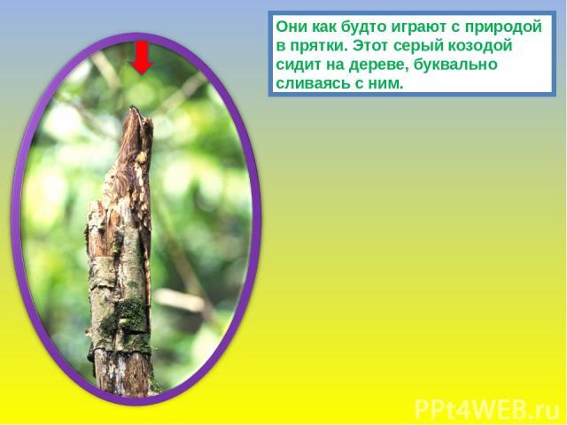 Они как будто играют с природой в прятки. Этот серый козодой сидит на дереве, буквально сливаясь с ним.