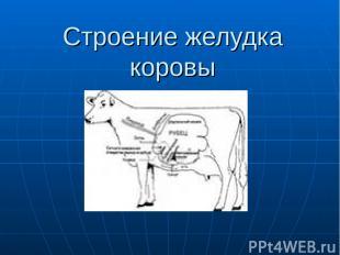 Строение желудка коровы