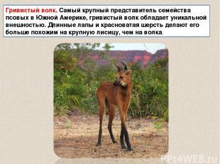 Гривистый волк. Самый крупный представитель семейства псовых в Южной Америке, гр