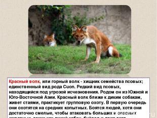 Красный волк, или горный волк - хищник семейства псовых; единственный вид рода C