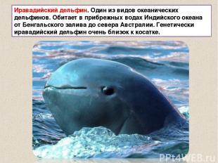 Иравадийский дельфин. Один из видов океанических дельфинов. Обитает в прибрежных