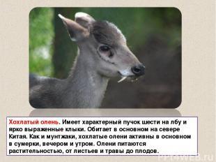 Хохлатый олень. Имеет характерный пучок шести на лбу и ярко выраженные клыки. Об