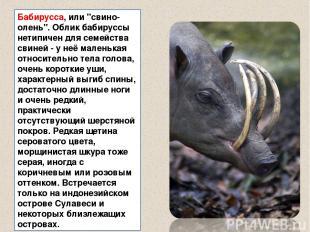 """Бабирусса, или """"свино-олень"""". Облик бабируссы нетипичен для семейства свиней - у"""