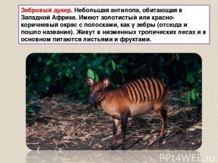 Зебровый дукер. Небольшая антилопа, обитающая в Западной Африке. Имеют золотисты