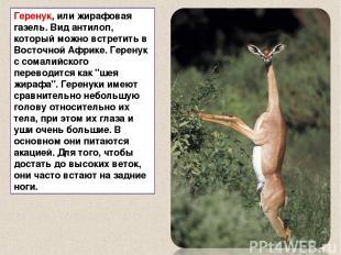 Геренук, или жирафовая газель. Вид антилоп, который можно встретить в Восточной