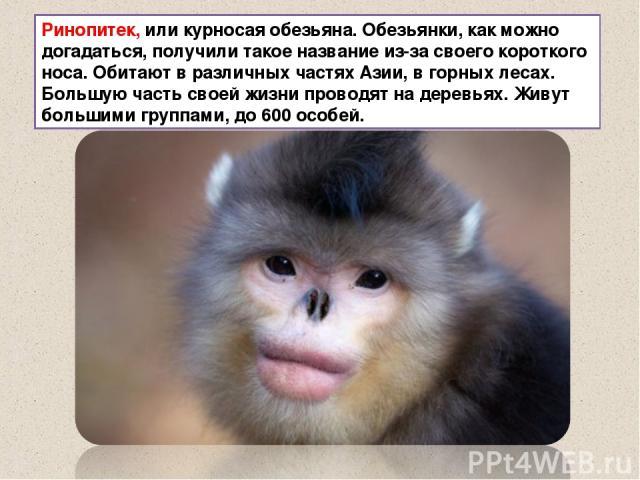 Ринопитек, или курносая обезьяна. Обезьянки, как можно догадаться, получили такое название из-за своего короткого носа. Обитают в различных частях Азии, в горных лесах. Большую часть своей жизни проводят на деревьях. Живут большими группами, до 600 …