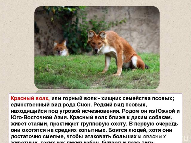 Красный волк, или горный волк - хищник семейства псовых; единственный вид рода Cuon. Редкий вид псовых, находящийся под угрозой исчезновения. Родом он из Южной и Юго-Восточной Азии. Красный волк ближе к диким собакам, живет стаями, практикует группо…