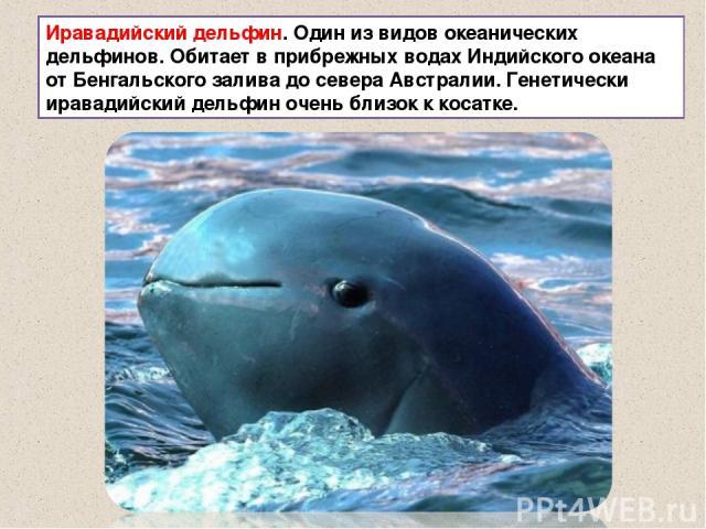 Иравадийский дельфин. Один из видов океанических дельфинов. Обитает в прибрежных водах Индийского океана от Бенгальского залива до севера Австралии. Генетически иравадийский дельфин очень близок к косатке.