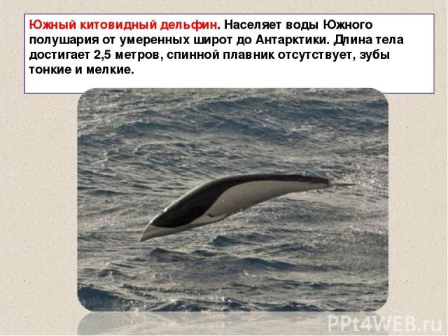 Южный китовидный дельфин. Населяет воды Южного полушария от умеренных широт до Антарктики. Длина тела достигает 2,5 метров, спинной плавник отсутствует, зубы тонкие и мелкие.