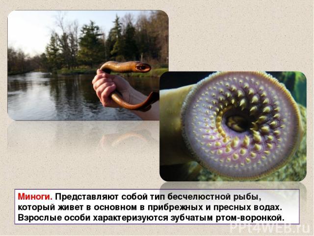Миноги. Представляют собой тип бесчелюстной рыбы, который живет в основном в прибрежных и пресных водах. Взрослые особи характеризуются зубчатым ртом-воронкой.