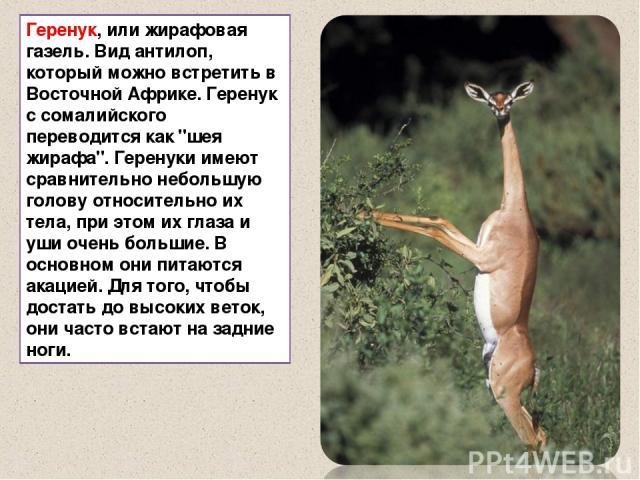 Геренук, или жирафовая газель. Вид антилоп, который можно встретить в Восточной Африке. Геренук с сомалийского переводится как