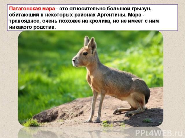 Патагонская мара - это относительно большой грызун, обитающий в некоторых районах Аргентины. Мара - травоядное, очень похожее на кролика, но не имеет с ним никакого родства.
