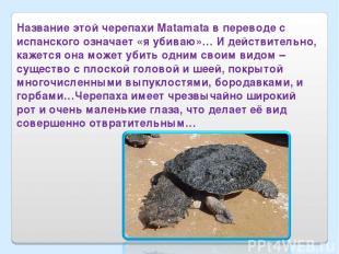 Название этой черепахи Matamata в переводе с испанского означает «я убиваю»… И д