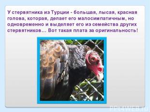 У стервятника из Турции - большая, лысая, красная голова, которая, делает его ма