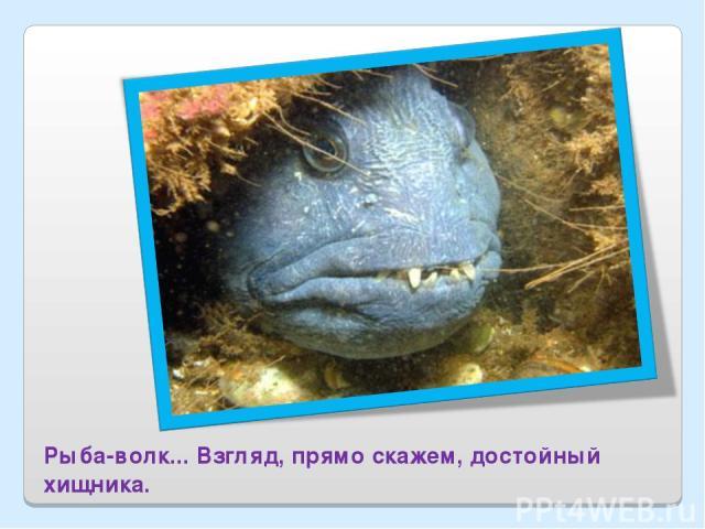 Рыба-волк... Взгляд, прямо скажем, достойный хищника.
