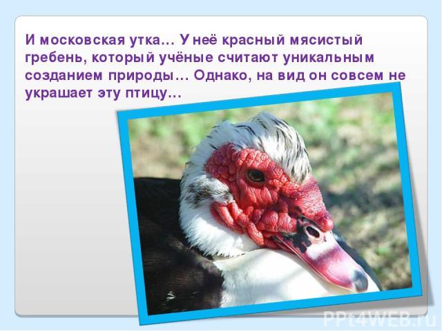 И московская утка… У неё красный мясистый гребень, который учёные считают уникальным созданием природы… Однако, на вид он совсем не украшает эту птицу…