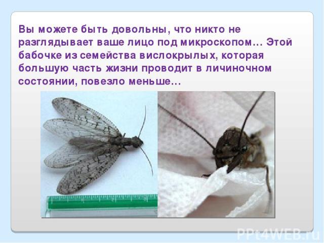 Вы можете быть довольны, что никто не разглядывает ваше лицо под микроскопом… Этой бабочке из семейства вислокрылых, которая большую часть жизни проводит в личиночном состоянии, повезло меньше…