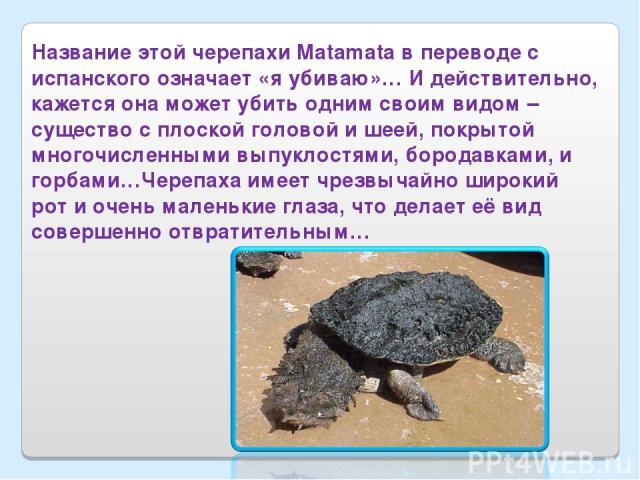 Название этой черепахи Matamata в переводе с испанского означает «я убиваю»… И действительно, кажется она может убить одним своим видом – существо с плоской головой и шеей, покрытой многочисленными выпуклостями, бородавками, и горбами…Черепаха имеет…