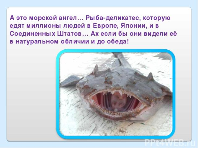 А это морской ангел… Рыба-деликатес, которую едят миллионы людей в Европе, Японии, и в Соединенных Штатов… Ах если бы они видели её в натуральном обличии и до обеда!