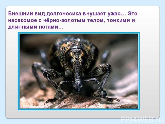 Внешний вид долгоносика внушает ужас… Это насекомое с чёрно-золотым телом, тонкими и длинными ногами…