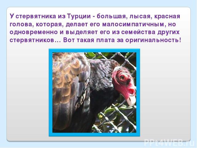 У стервятника из Турции - большая, лысая, красная голова, которая, делает его малосимпатичным, но одновременно и выделяет его из семейства других стервятников… Вот такая плата за оригинальность!