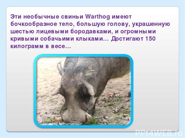 Эти необычные свиньи Warthog имеют бочкообразное тело, большую голову, украшенную шестью лицевыми бородавками, и огромными кривыми собачьими клыками… Достигают 150 килограмм в весе…