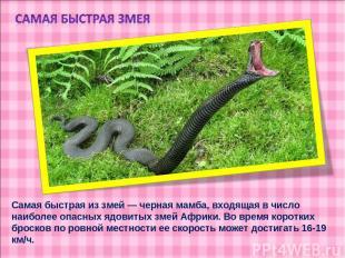 Самая быстрая из змей — черная мамба, входящая в число наиболее опасных ядовитых