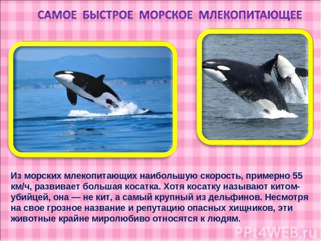 Из морских млекопитающих наибольшую скорость, примерно 55 км/ч, развивает большая косатка. Хотя косатку называют китом-убийцей, она — не кит, а самый крупный из дельфинов. Несмотря на свое грозное название и репутацию опасных хищников, эти животные …