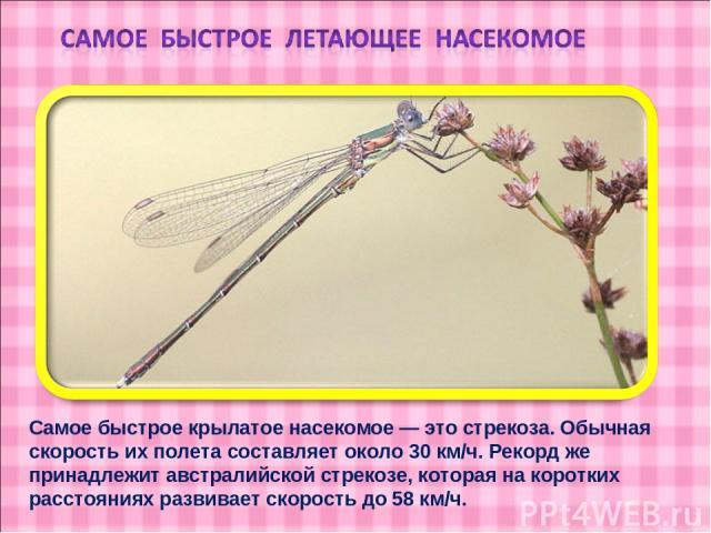Самое быстрое крылатое насекомое — это стрекоза. Обычная скорость их полета составляет около 30 км/ч. Рекорд же принадлежит австралийской стрекозе, которая на коротких расстояниях развивает скорость до 58 км/ч.