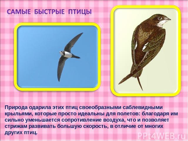 Природа одарила этих птиц своеобразными саблевидными крыльями, которые просто идеальны для полетов: благодаря им сильно уменьшается сопротивление воздуха, что и позволяет стрижам развивать большую скорость, в отличие от многих других птиц.