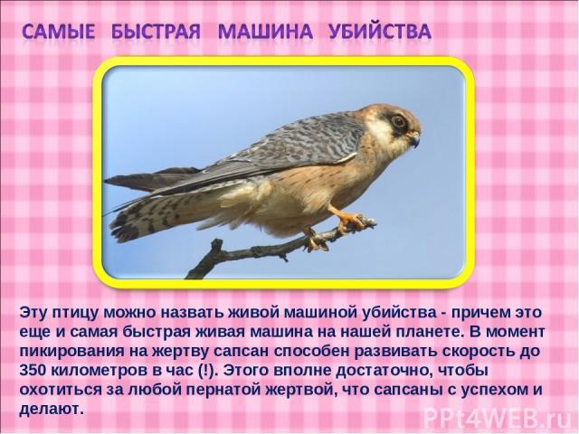 Эту птицу можно назвать живой машиной убийства - причем это еще и самая быстрая живая машина на нашей планете. В момент пикирования на жертву сапсан способен развивать скорость до 350 километров в час (!). Этого вполне достаточно, чтобы охотиться за…