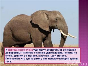 У африканского слона уши могут достигать от основания до вершины 1,5 метра. У сл