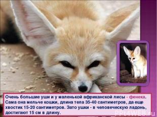 Очень большие уши и у маленькой африканской лисы - фенека. Сама она мельче кошки