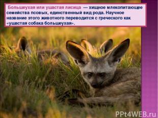Большеухая или ушастая лисица — хищное млекопитающее семейства псовых, единствен