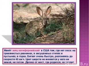 Живёт заяц калифорнийский в США там, где нет леса: на травянистых равнинах, в за